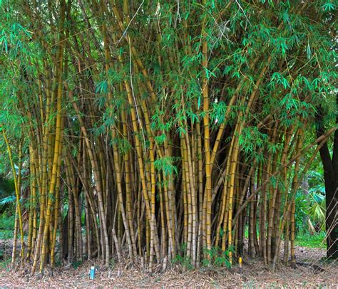 pictures of bamboo trees bamboo plants quotes quotesgram