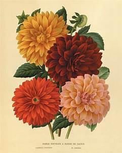 Dahlia Vintage flower art print garden wall art botanical