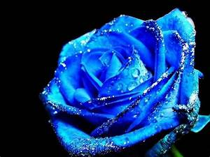 Daydreaming images Blue Rose HD wallpaper and background ...