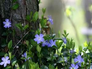 Bodendecker Blaue Blüten : lory naturgarten galerie pflanzenportraits stauden ~ Frokenaadalensverden.com Haus und Dekorationen