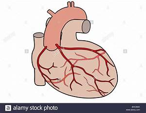 Diagram Of The Human Heart Showing The Coronary Arteries