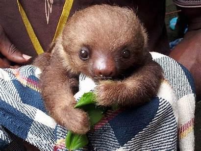 Sloth Sloths Funny Adorable Eating Animals Animal