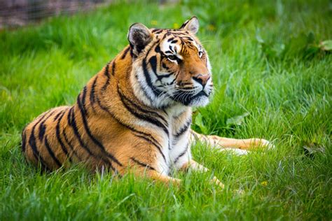 Tiger Photo by Wallpaper Of Tiger 12481 Hdwpro