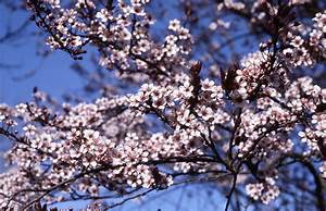 Plum  Newport Flowering