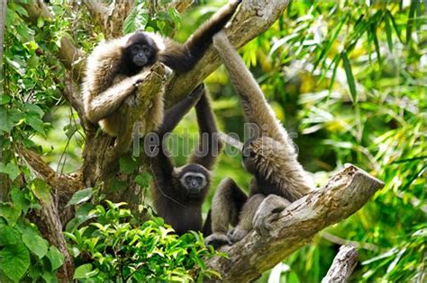 Picture Of Gibbon Monkey