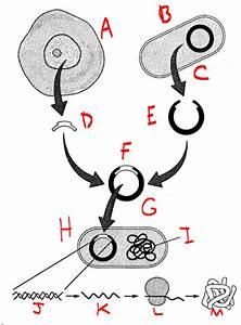 Genetic Engineering Diagram
