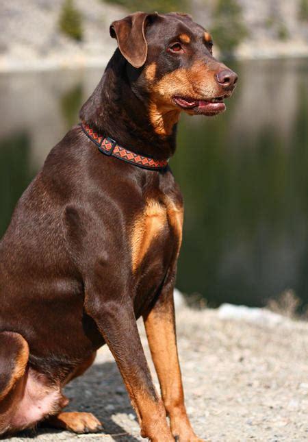 kinds  dogs    tiny doberman pinschers dog