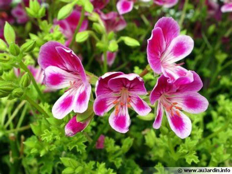 cuisiner le gibier géranium odorant pelargonium crispum conseils de culture