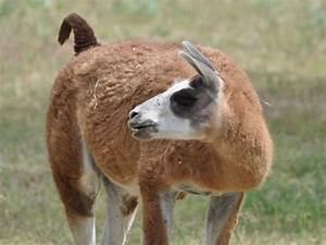 Llama /Lama glama/