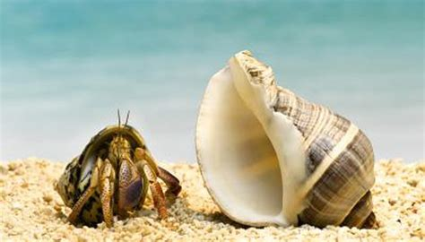 long   hermit crab  animals momme