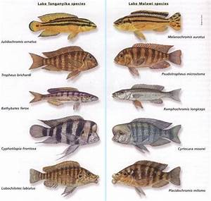 Research on Intelligent Design: The Cichlid Variation