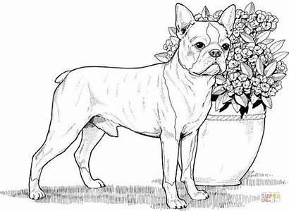 Coloring Dog Terrier Boston Adults Kolorowanka Colorear