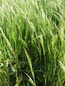 Pasture Weed Grass Identification