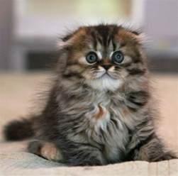 munchkin cat price 17 best ideas about scottish fold kittens on