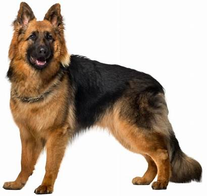Shepherd German Dog Clipart Clip Transparent Pet