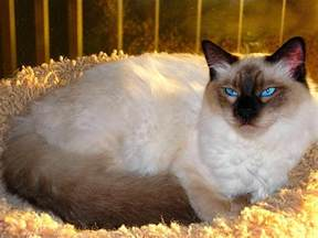 balinese cat the of animals