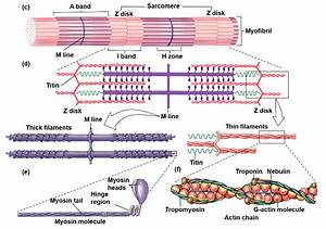 Human Physiology Chapter 12 Flashcards