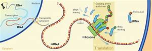 Protein Synthesis  Lesson 0428