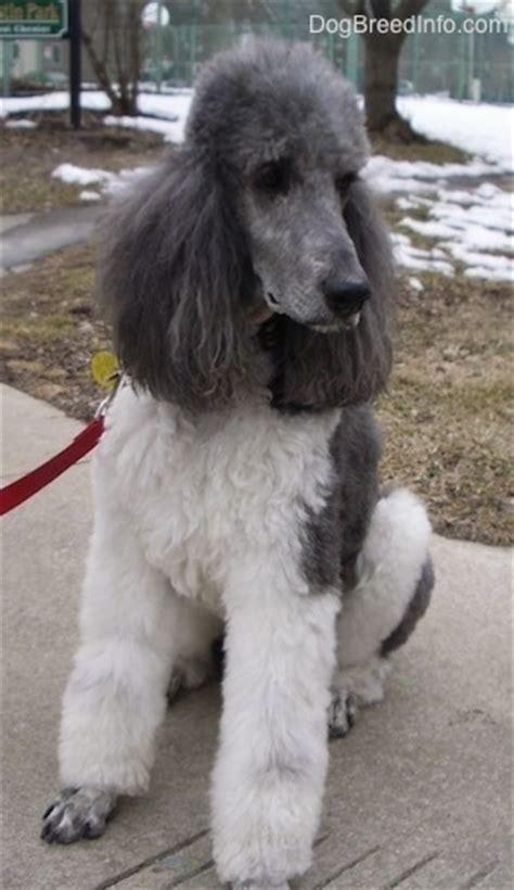 standard poodle dog breed pictures