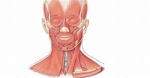 Muscles Of The Face  U0026 Neck  Unlabeled