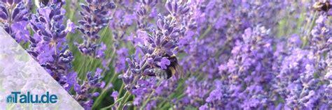 lavandula angustifolia winterhart lavendel  hidcote