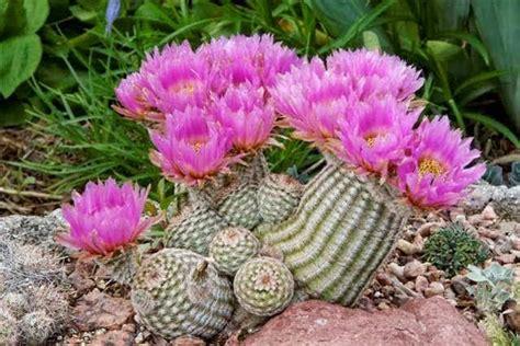 กระบองเพชร (cactus)