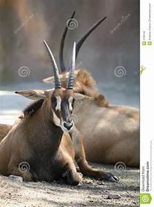 Zambian Sable Antelope Stock Images - Image: 1156144