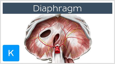 Diaphragm  Definition, Function, Muscle & Anatomy. Appliance Repair Irvine Hair Transplant Costs. Comcast Internet Minneapolis. Online Accredited Sonography Programs. Hennepin County Child Support. Lasik Eye Surgery Fort Myers. American College Washington Dc. Gentle Dental Peabody Ma Home Equity Products. Federal Housing Assistance Grants