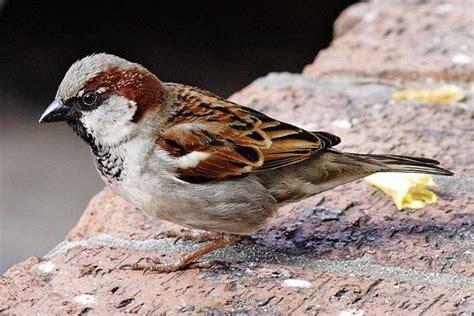 Birds of Ontario/House Sparrow