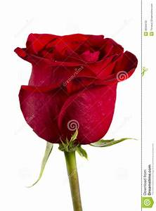 Single Red Rose Stock Photography - Image: 30594702
