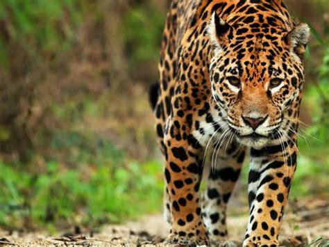 Jaguar Safari In The Pantanal, Brazil Helping Dreamers Do