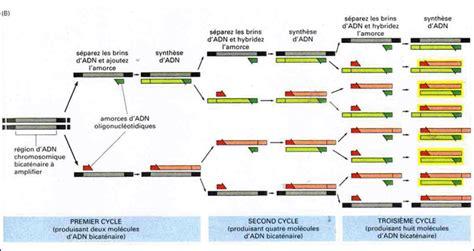 bureau de la pcr mutagenese mit der overlap extension pcr methode oe pcr images frompo