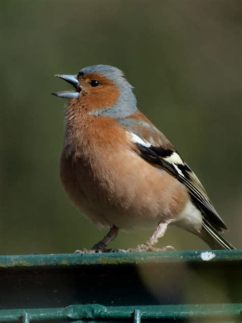 colonizing songbirds lost sense of syntax genes