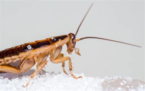 Insekten Im Haus Erkennen by Ungeziefer Im Haus Erkennen Bek 228 Mpfen