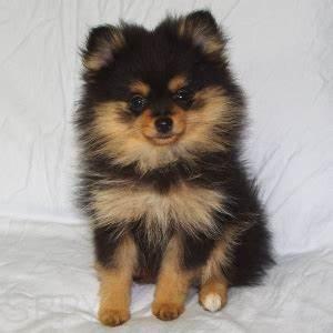 Pomchi (Pomeranian-Chihuahua mix) Info, Temperament ...