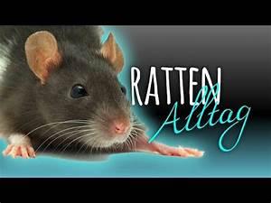Was Fressen Ratten : ratten alltag spielen klettern fressen youtube ~ One.caynefoto.club Haus und Dekorationen