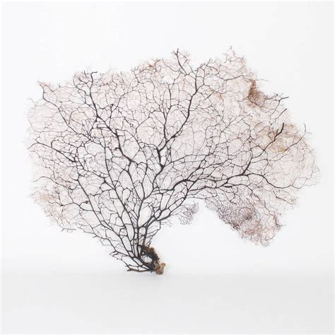 sea fans for sale giant black sea fans for sale at 1stdibs