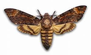 Deaths Head Moth wallpapers, Animal, HQ Deaths Head Moth ...