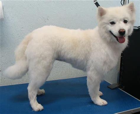 american eskimo haircut idea  elsa elsa  eskie