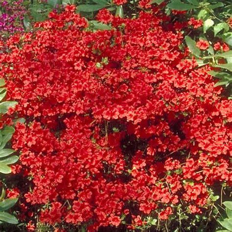 azalea geisha red japanese evergreen shrub hardy