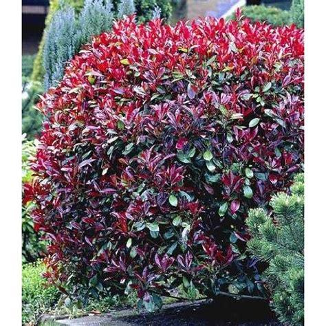 winterharte pflanzen für balkon immergr 252 ne str 228 ucher winterhart garten immergr 252 ne str 228 ucher winterhart heckenpflanzen und