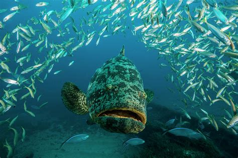 grouper goliath david doubilet atlantic swims underwater photograph photographs 8th which march uploaded