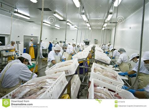 fish processing factory stock photo image  cuts cods