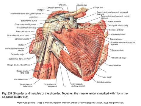 Netters Shoulder Anatomy Rotator Cuff