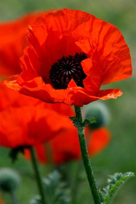 poppies meaning best 25 poppy flower meaning ideas on pinterest poppy tattoo meaning poppy flower tattoos