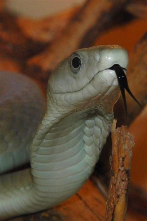 black mamba snakes alive black mamba snake snake