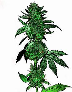 Marijuana-drawing-2.0 | Marijuana drawing 2.0. OG Kush ...