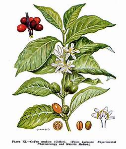 Food-Info.net> The Coffee Plant