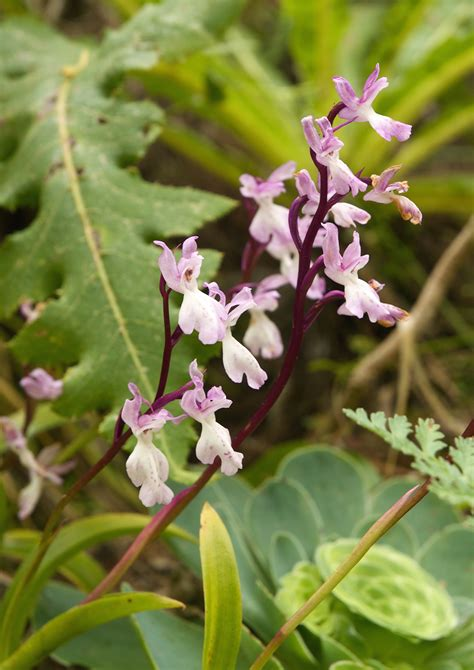 Orchis patens subsp. canariensis - Wikimedia Commons