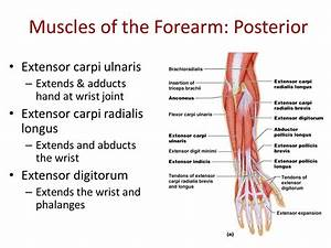 Muscles of the arms and legs - ppt video online download
